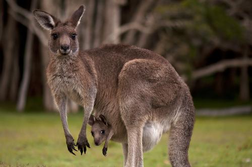 kangur-pui