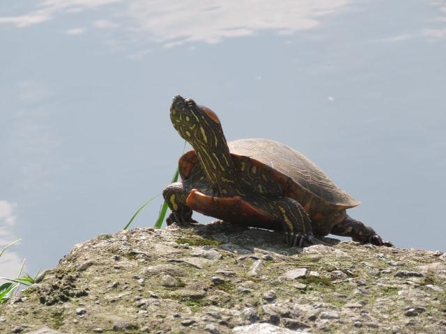 broasca țestoasă miruna ioani